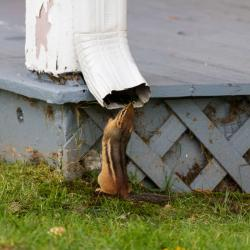 Chipmunk getting a drink from downspout