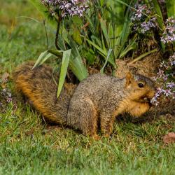 Fox squirrel smelling then eating flowers