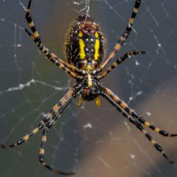 Black and Yellow Garden Spider eating a fly it caught and spun a web around