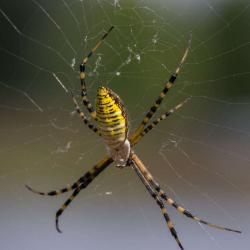 Black and Yellow Banded Argiope--Macro Photography