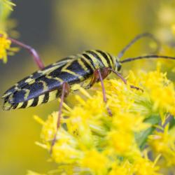 Locust Borer--Megacyllene robiniae--Adults feed on pollen of goldenrods