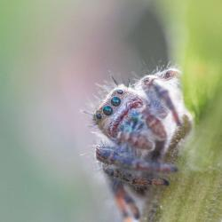 First attempt at a Jumping Spider--Macro Photography