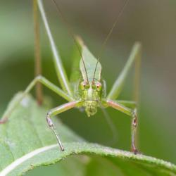 Cross-eyed Katydid--Macro Photography