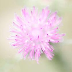 Thistle flower--Macro Photography