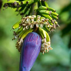 Common Banana Blossom Heart