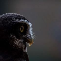 Spectacled Owl PhotoWILD Estrella Carolina Raptor Center