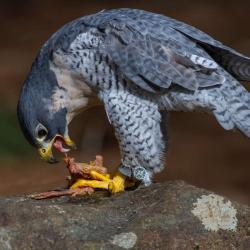 Peregrine Falcon eating a baby chicken