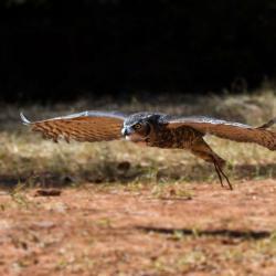 Flight of the Great Horned Owl PhotoWILD Carolina Raptor Center