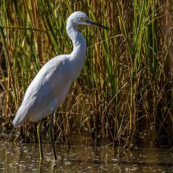 St. Simons Island Egret Bird
