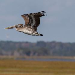 St. Simons Island Pelican