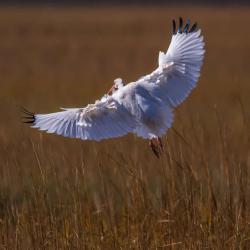 St. Simons Island Ibis Bird Photography