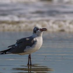 Cumberland Island National Seashore Seagulls