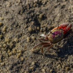 Cumberland Island Crab