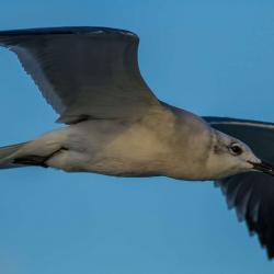 Seagull Cumberland Island