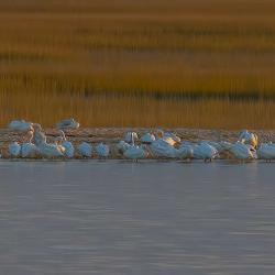 Pelicans at Cumberland Island
