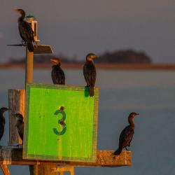Cormorants at Cumberland Island