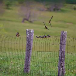 Barn Swallows Flying