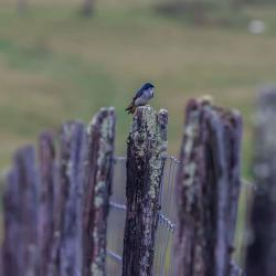 Tree Swallow Sitting on Post