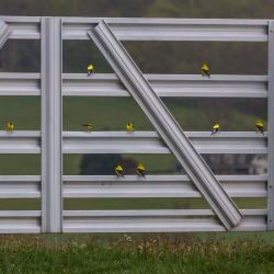 Gold Finches On Gate