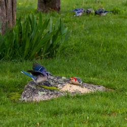 Bluejays Fighting Red-bellied Woodpecker