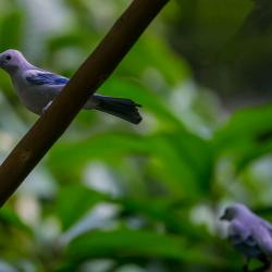 Blue-grey Tanager inside R. J. Reynolds Forest Aviary