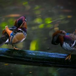 Mandarin ducks inside R. J. Reynolds Forest Aviary