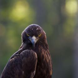 Golden Eagle PhotoWILD Carolina Raptor Center