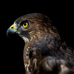 Broad-Winged Hawk PhotoWILD Carolina Raptor Center