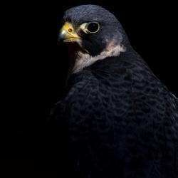 Peregrine Falcon PhotoWILD Carolina Raptor Center