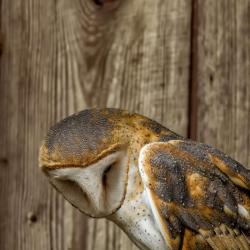 Barn Owl PhotoWILD Carolina Raptor Center
