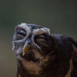 Estrella Spectacled Owl PhotoWILD Carolina Raptor Center
