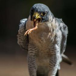 Peregrine Falcon ...I can
