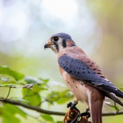 Kestrel Falcon PhotoWILD Carolina Raptor Center