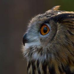 Great Horned Owl PhotoWILD Carolina Raptor Center