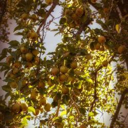 Pear Tree Wilson House