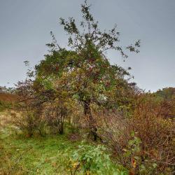 Old Apple Tree Wilson House