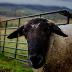 Suffolk Sheep-Ram