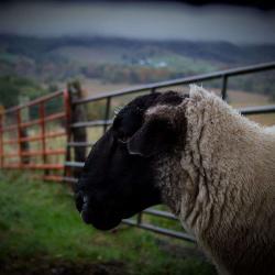 Suffolk Sheep-Ram