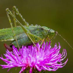 Female Katydid
