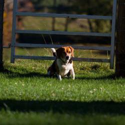 Riley The Beagle-Neighbor
