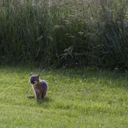 Baby Fox on Farm Country Classic