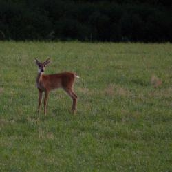 Deer in Field on Farm