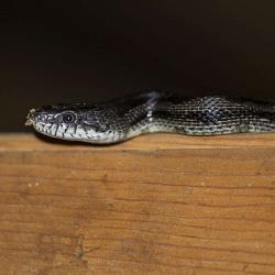 Rat snake in barn
