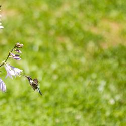 Humming Bird on Farm
