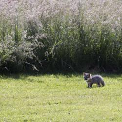 Baby Foxes on Farm Country Classic