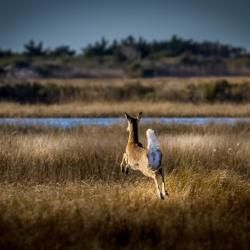 Coastal White-tailed Deer