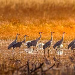 Sandhill Cranes at Pungo Lake