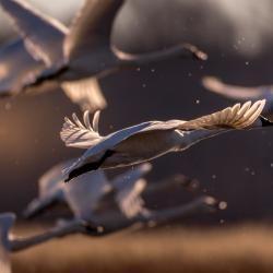 Tundra Swans Flying Pungo Lake