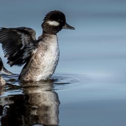 Female Bufflehead Duck
