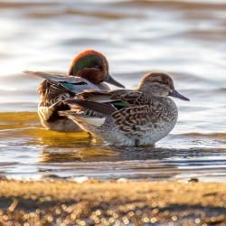 Green Wing Teals